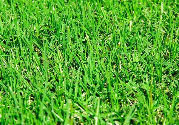 cỏ sân golf và kỹ thuật trồng cỏ sân golf tiêu chuẩn